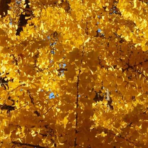 Gingko Herbstfärbung