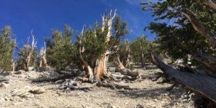 Bristlecone Pine White Mountains